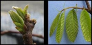 Leaf stages of development