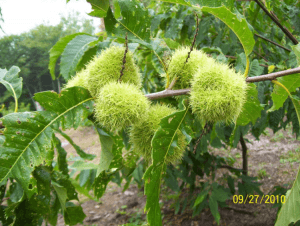 Chestnuts ripening in Harold Mosher's orchard in Hope.