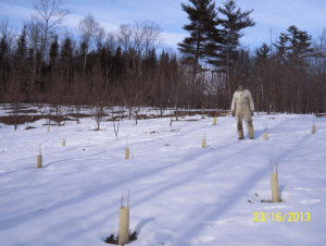 Mosher Orchard in the late winter of 2013. One-year old seedings in foreground, 7-year-old trees in background.