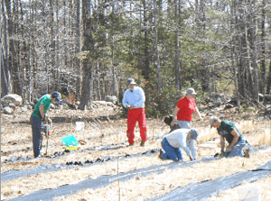 """""""Assembly line"""" chestnut planting in Winthrop seed orchard, May 2013"""
