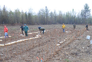 Rain and mud did not stop the planting of 900 chestnut seeds in the PCCA New Sharon Rd seed orchard in Stetson, May 2013.
