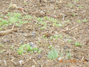 We flagged the nest for the 1/2 hour it took to plant adjacent to it, the parent calling and displaying the whole time just 20 ft away! Can you see the killdeer in this photo? A week later the killdeer chicks were running around.