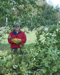 Clark Granger helping with harvest in his Deer Hill orchard in 2012.