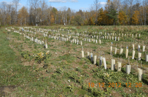Each of the 3150 chestnut seeds we planted in the Hartland orchard in May 2012 has a shelter to prevent theft by critters.