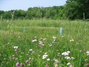 """Diverse native """"prairie"""" turf flora begins to take over the meadow around our chestnut saplings. Photographer Leila Pinchot"""