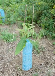 one season's growth for a test planting open pollinated American chestnut