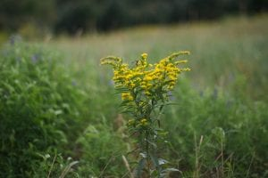 A wasp gathers pollen from a goldenrod at Wigwam Brook
