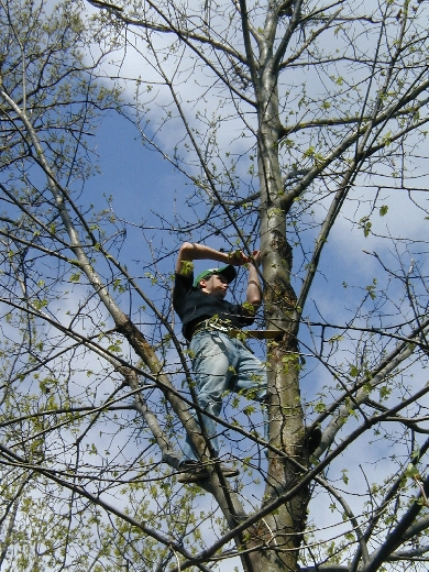 """Above, Tommy Tamarkin back up in Barbara Knapp's Montgomery County Champion American chesnut tree in 2007 with a hypovirus """"soup"""" to treat blight cankers."""